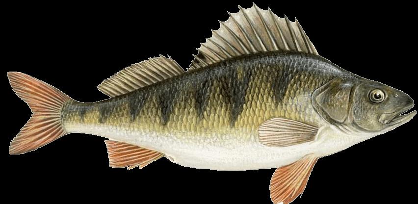 Dikenli Yüzgeçli Balıklar